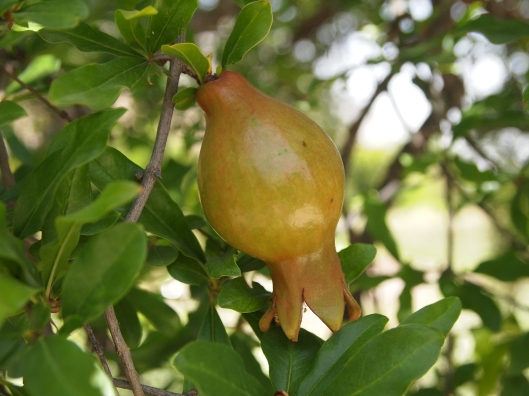a budding pomegranate