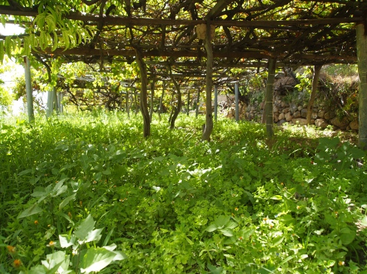 trellises of grapevines