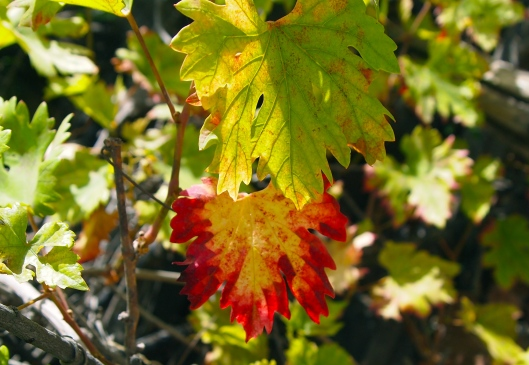 beautiful red and yellow leaves from the grapevines