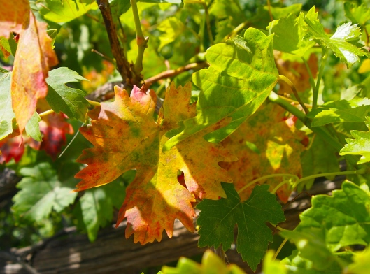 red and yellow grapevine leaves
