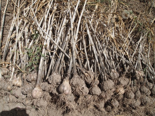 some harvested Omani garlic.  We can really smell it!