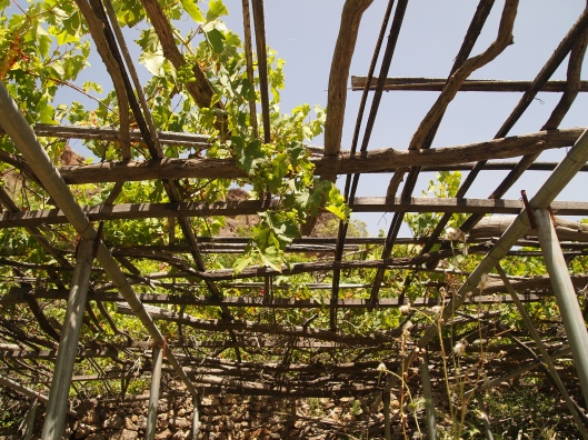 grapevines on trellises