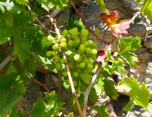 more tiny grapes