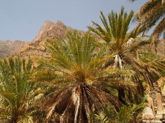 date palms and the mountains above